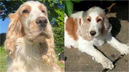 Casal de idosos está devastado desde que a sua cadela cocker spaniel foi roubada.