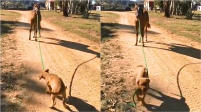 Cachorro iniciativo puxa cavalo selvagem pela corda e o leva para passear pelas rédeas.