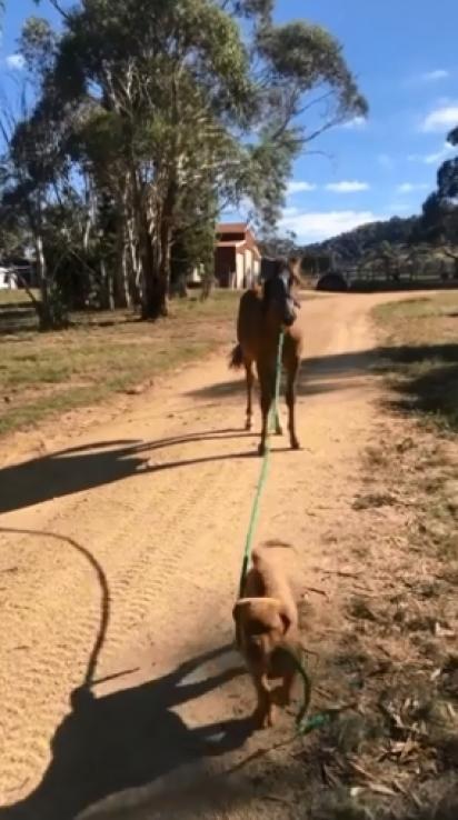 O cachorrinho segura o cavalo pela corda e o leva para passear pela fazenda.