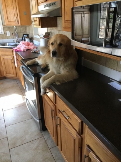 """O cachorro golden retriever, Macky, em cima do fogão: """"Não vai acender, né? Era só uma piada""""."""