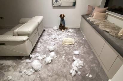 Dono encontra suas almofadas rasgadas em sala. Seu cachorro fica parado imóvel como se a culpa não fosse dele.