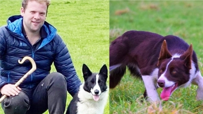 Cão de pastoreio border collie é vendido por quase 200 mil reais