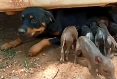 A cadela Pantera amamenta filhotes de porquinhos que perderam a mãe durante o parto.