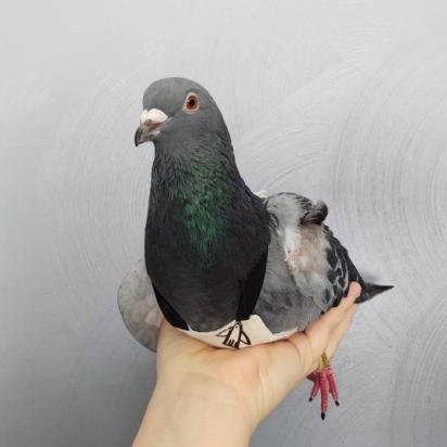 Buddy é um ex-pombo-correio e foi adotado depois de sofrer uma lesão.