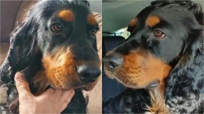 Mulher oferece recompensa de 10 mil euros para quem encontrar o seu cão cocker spaniel.