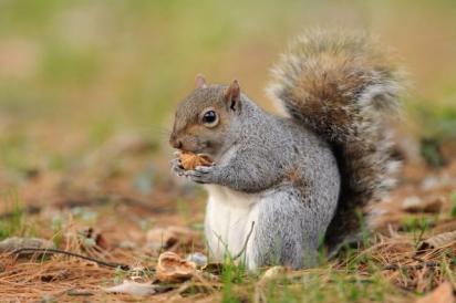 Cientistas do Reino Unido criam método para frear disseminação do esquilo cinza, cuja espécie não é nativa do Reino Unido.