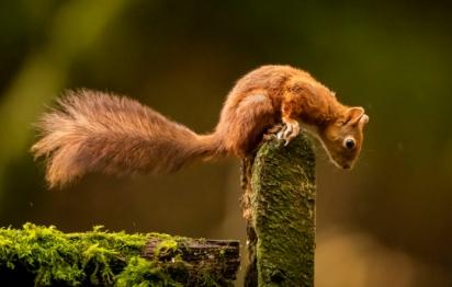 Na imagem, o esquilo vermelho, espécie nativa do Reino Unido.