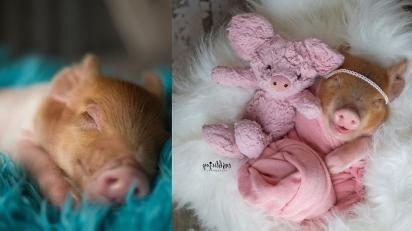 Ensaio fotográfico com porquinhos