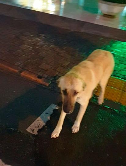O cachorrinho caramelo acompanhou o médico até a faixa de segurança.
