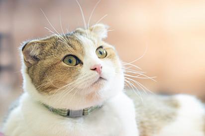 Os gatos O Simba espontâneo são hiperativos.