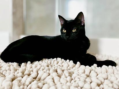 Os gatos O amável alfie são sociáveis, sensíveis e interativos.