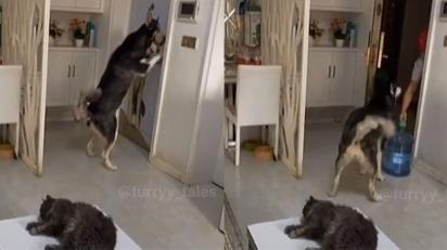 Cão husky viraliza no TikTok após receber e pagar entregador de água.