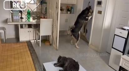 O cãozinho rapidamente vai em direção a porta para receber o atendente.