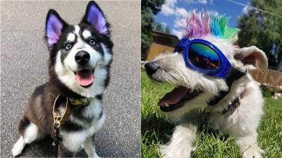 Nova moda 'cãolorida' chega no mundo animal. Tintas para pintar o pelo de animais de estimação ganham cada vez mais adeptos em pet shops especializados.