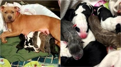 Pit bull acolhe e amamenta oito filhotes da sua amiga que morreu durante o parto.