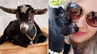 Dona de pet shop realiza o sonho de ter mini cabra e a trata como uma verdadeira princesa.