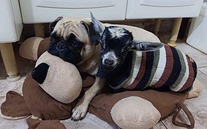 A cabrinha convive com outros animais dentro de casa e se dá muito bem com o pug da família.