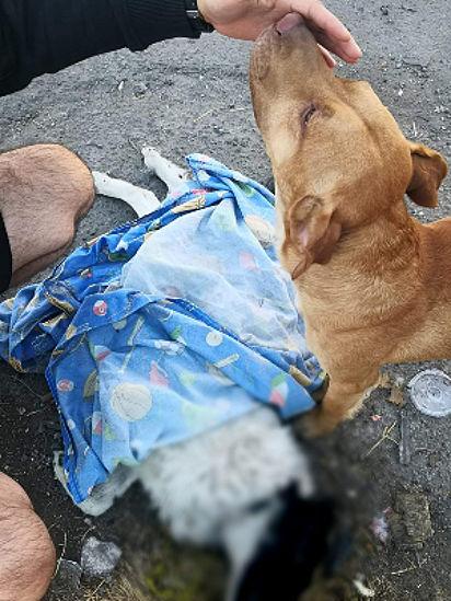 Em uma atitude emocionante, o cão Güero arrasta o corpo do seu amigo da rua para a calçada.