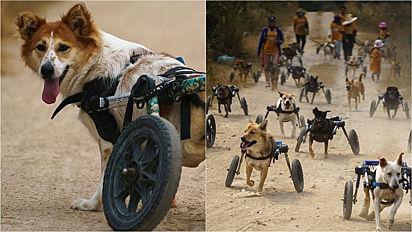 Cães paraplégicos de abrigo vivenciam emocionante experiência com cadeira de rodas.