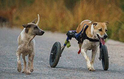 Durante o passeio os cães deficientes foram acompanhados pelos outros cães do abrigo.