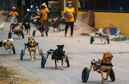 Os cães podem aproveitar os passeios diários, graças às cadeiras de rodas.