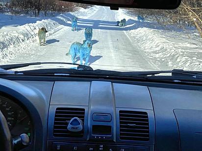 Matilha de cachorros azuis são avistados em cidade russa. As fotos foram tiradas por residentes da região.