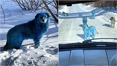Cachorros de rua ficam azuis após terem contato com resíduos químicos de fábrica russa.