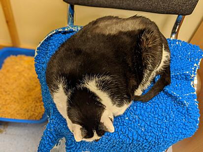 A gatinha Paisley quando estava no auge da sua obesidade.
