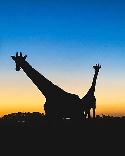 Sim, são girafas.