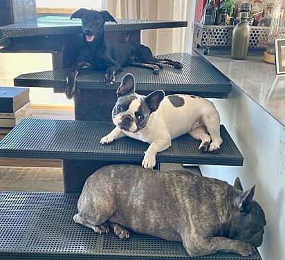 Os dois cães da raça buldogue, Mano e Mafalda, com a sua mais nova irmã, Sara.