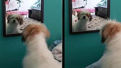 Cachorro se vê no espelho e não gosto do que vê.