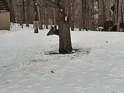 A idosa flagrou a cena e resolveu registrar o cervo escondido atrás da árvore.