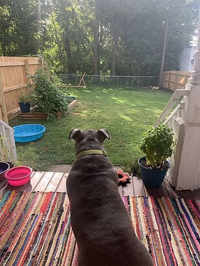 Os donos cercaram o quintal para a pit bull poder correr e brincar em segurança.