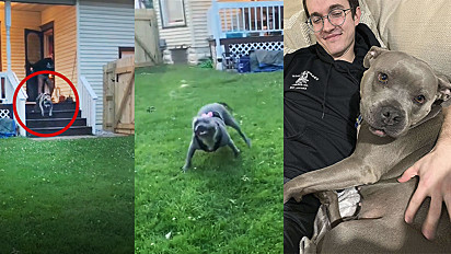 Pit bull adotada fica emocionada ao correr livremente em seu próprio quintal pela 1ª vez.