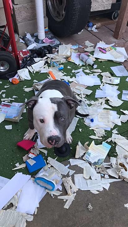 O pit bull destruiu completamente a encomenda de livros da dona.