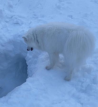 Momento em que a cadela samoieda localizou a caverna de gelo.