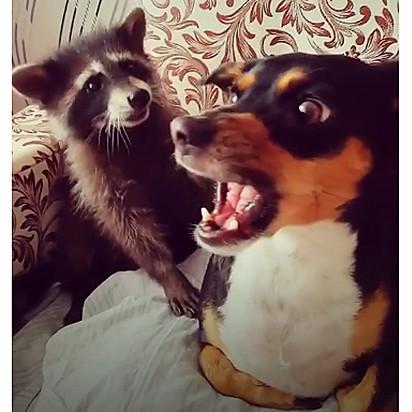 O guaxinim tenta uma aproximação carinhosa, mas o cachorro não quer amizade.