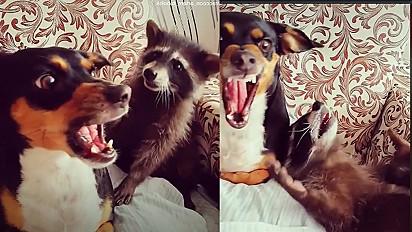No TikTok, vídeo de guaxinim querendo brincar com cachorro pinscher conquista internautas.