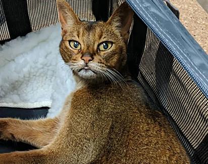 A gata Trixie, resgata por uma vizinha após ser abandonada.