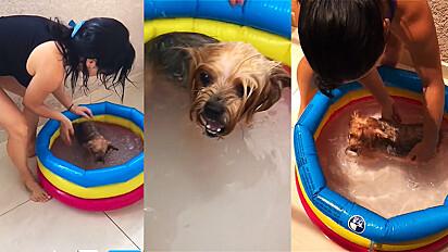 Cadela viraliza no TikTok por amar tanto piscina ao ponto de brigar com dona quando é hora de sair.