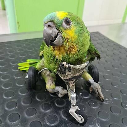 O papagaio Mefi desfruta da sua nova cadeira de rodas confeccionada pela veterinária Maria Ângela Panelli, de Barretos (SP)