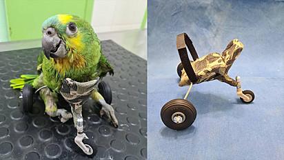 O papagaio deficiente físico ganhou a cadeira de rodas confeccionada por uma veterinária de Barretos (SP).
