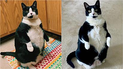 Gata viraliza por sentar sobre duas patas.