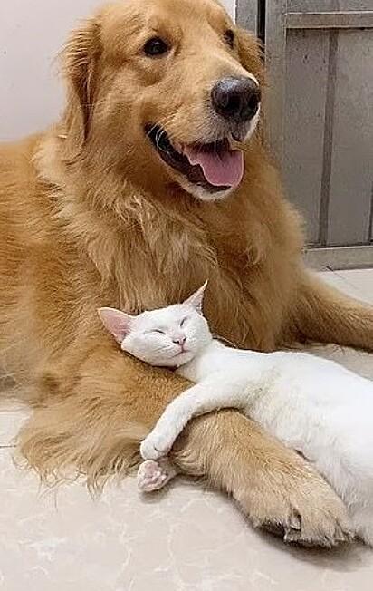 O gatinho se aninha amorosamente no golden retriever.