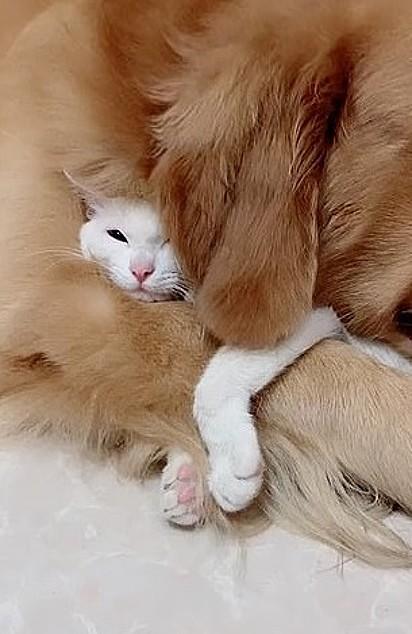 O golden abraça carinhosamente o gatinho.