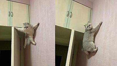 A gata Qiqi, de Leshan City (China), impressiona por sua habilidades montanhistas em parede residencial.