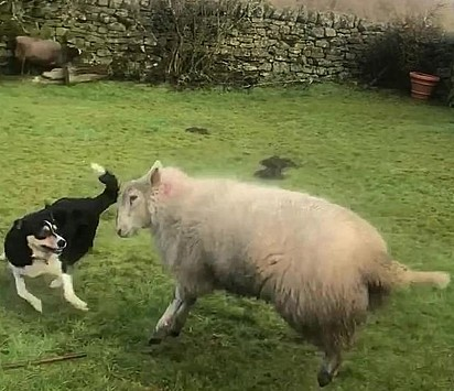 A ovelha chegou até o casal quase sem vida e Mist ficou ao seu lado durante toda a recuperação.