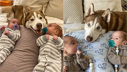 Husky siberiano é apaixonada por gêmeos desde o ventre da sua dona.