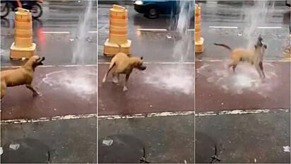 Cão vira-lata caramelo se diverte ao brincar na chuva no Rio de Janeiro.