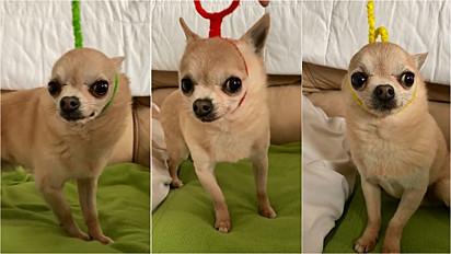 O chihuahua ficou uma graça vestido com os personagens do 'The Teletubbies'.